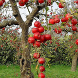 trees-autumn-season-red-apples