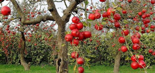 trees-autumn-season-red-apples